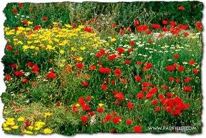 lilies-of-field