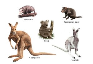 Marsupials (Image from Google Images)