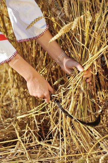 Woman reaps wheat with a sickle. Close-up
