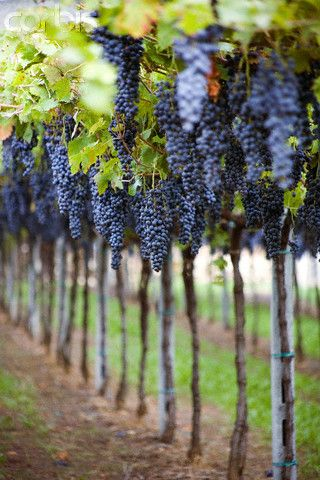 Vine Clusters